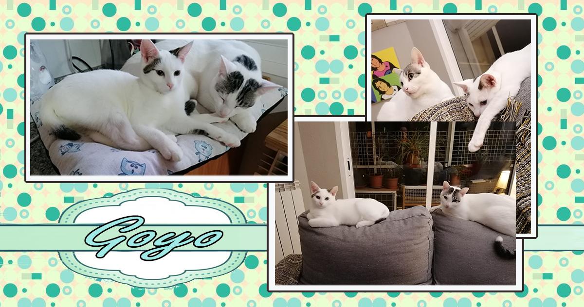 gato blanco adoptado Zaragoza Goyo